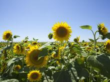 Sunflowers in a field outside of Sacramento in Dixon California. Area serviced by Greiner Heating and Air Conditioning
